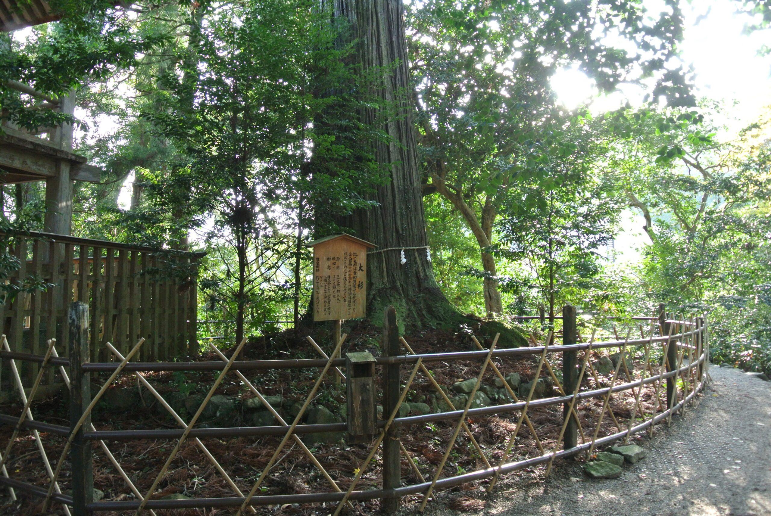 須佐の大杉